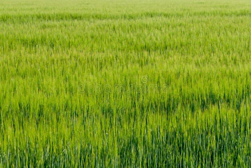 Υπόβαθρο από το τεμάχιο του τομέα με το νέο πράσινο σίτο στοκ εικόνες με δικαίωμα ελεύθερης χρήσης