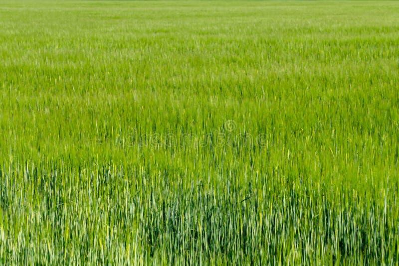 Υπόβαθρο από το τεμάχιο του τομέα με το νέο πράσινο σίτο στοκ φωτογραφία