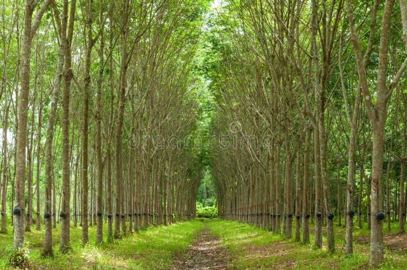 Υπόβαθρο λαστιχένιων δέντρων στοκ φωτογραφία με δικαίωμα ελεύθερης χρήσης