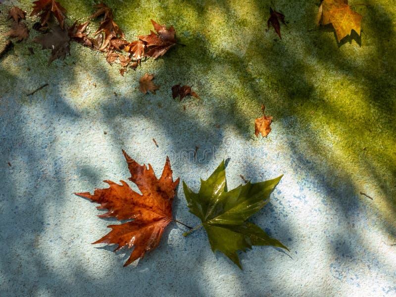 Υπόβαθρο για το φθινόπωρο με το κίτρινο και πράσινο φύλλο σφενδάμου δίπλα στο πράσινο νερό στοκ φωτογραφία