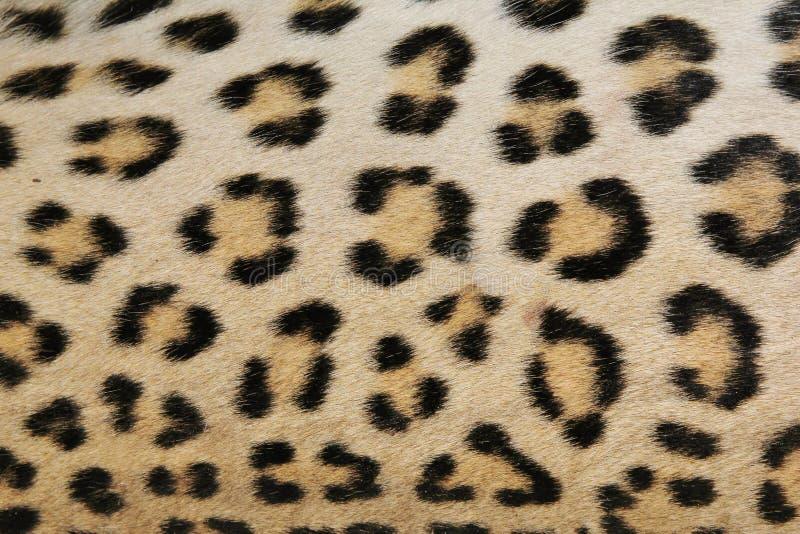 Υπόβαθρο λεοπαρδάλεων του δέρματος και των ροζέτων - αφρικανικό Π στοκ εικόνες