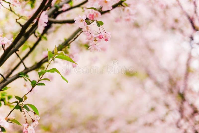 Υπόβαθρο κινηματογραφήσεων σε πρώτο πλάνο ξύλων Sakura στοκ εικόνα