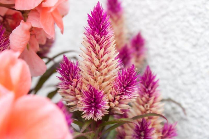 Υπόβαθρο λουλουδιών ροζ και χρωμάτων κοραλλιών στοκ εικόνα