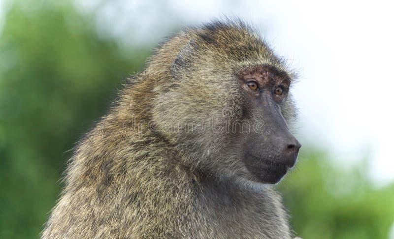 Υπόβαθρο με αστείο baboon που κοιτάζει κατά μέρος στοκ εικόνες