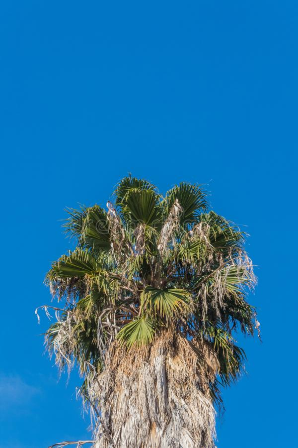 Υπόβαθρο με την κορυφή ενός φοίνικα ανεμιστήρων Washingtonia που τίθεται ενάντια σε έναν φωτεινό μπλε ουρανό στοκ φωτογραφία με δικαίωμα ελεύθερης χρήσης
