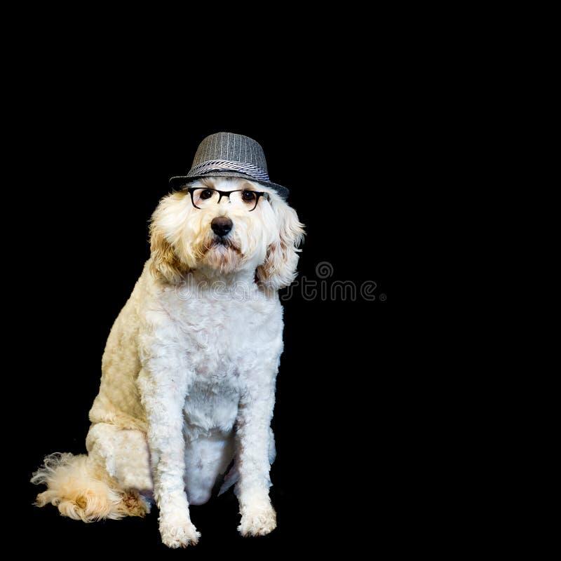 Υπόβαθρο με το άσπρο σκυλί που φορά τα γυαλιά και Fedora μαύρος-πλαισίων στοκ εικόνα