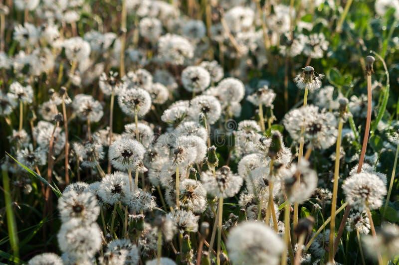 υπόβαθρο λουλουδιών πικραλίδων του θερινού τοπίου στοκ εικόνα με δικαίωμα ελεύθερης χρήσης