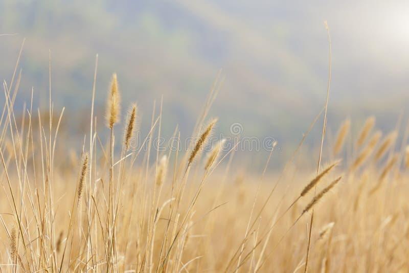 Υπόβαθρο σίτου κάτω από το φως του ήλιου στοκ φωτογραφία με δικαίωμα ελεύθερης χρήσης