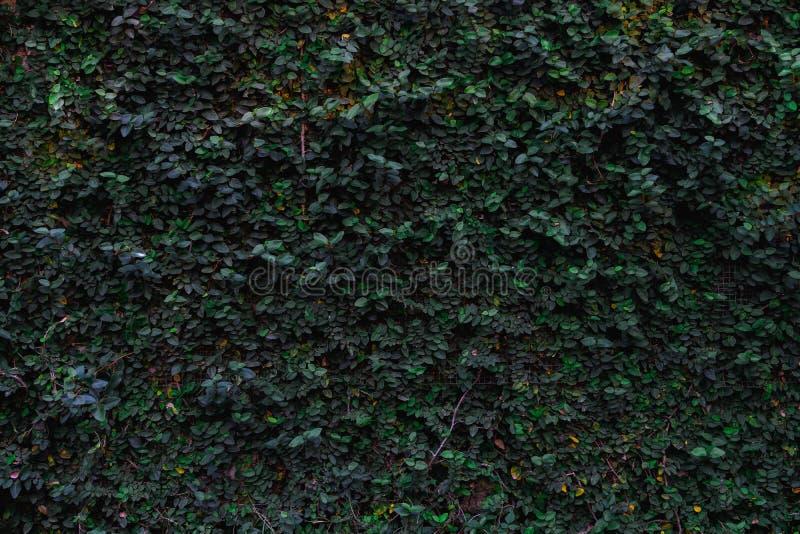 Υπόβαθρο σύστασης του πράσινου φυσικού τοίχου φύλλων στοκ φωτογραφίες