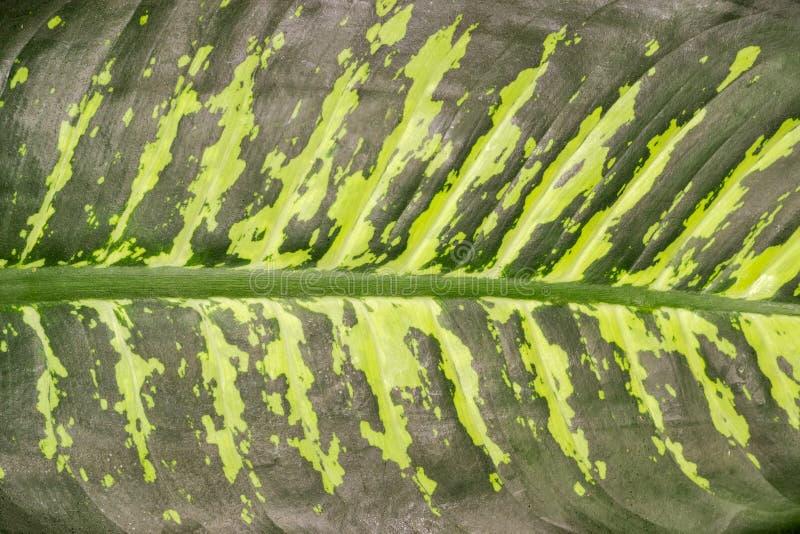 Υπόβαθρο της κινηματογράφησης σε πρώτο πλάνο φύλλων dieffenbachia στοκ εικόνες με δικαίωμα ελεύθερης χρήσης