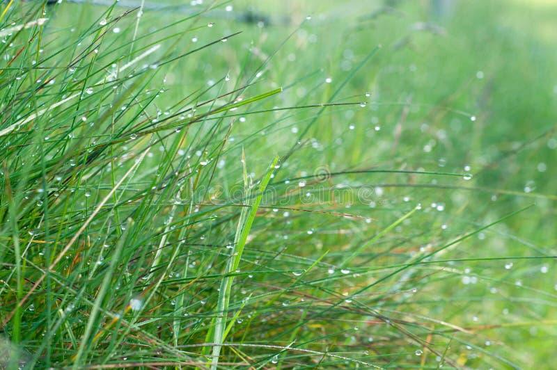 Υπόβαθρο της πράσινης φρέσκιας χλόης που καλύπτεται με τη δροσιά το πρωί στοκ εικόνα