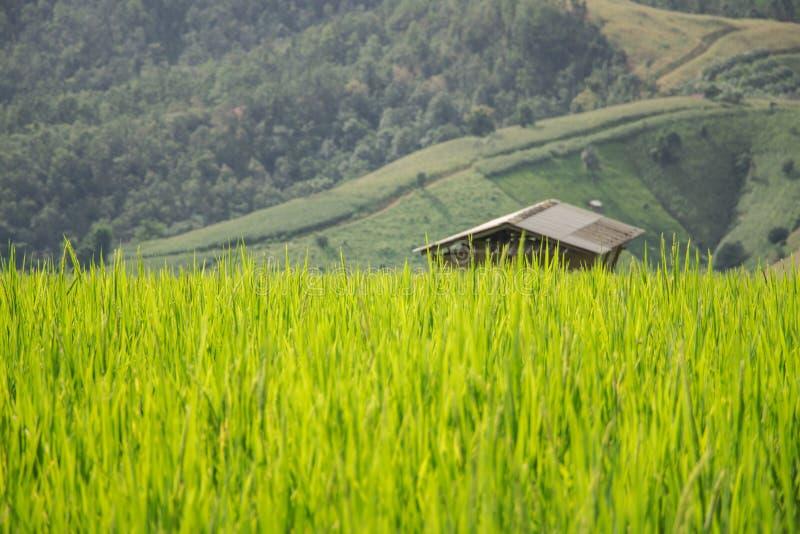 Υπόβαθρο τομέων ρυζιού εξοχικών σπιτιών ή καλυβών στοκ εικόνες