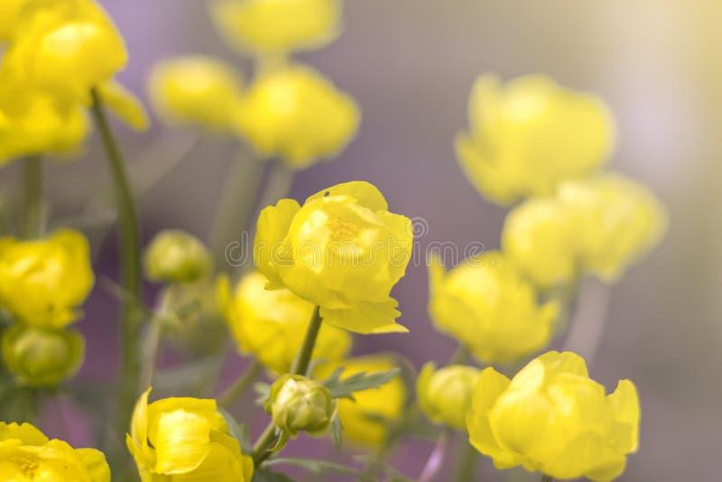 Υπόβαθρο του κίτρινου globular europaeus Trollius λουλουδιών στον ήλιο στοκ φωτογραφία με δικαίωμα ελεύθερης χρήσης