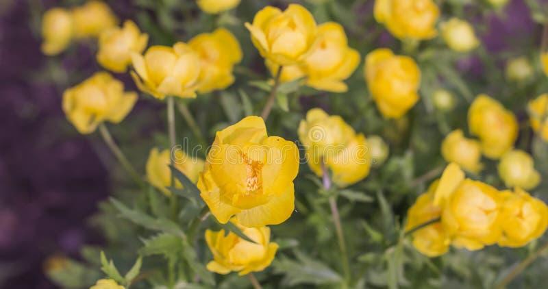 Υπόβαθρο του κίτρινου globular europaeus Trollius λουλουδιών στο φυσικό περιβάλλον στοκ εικόνα