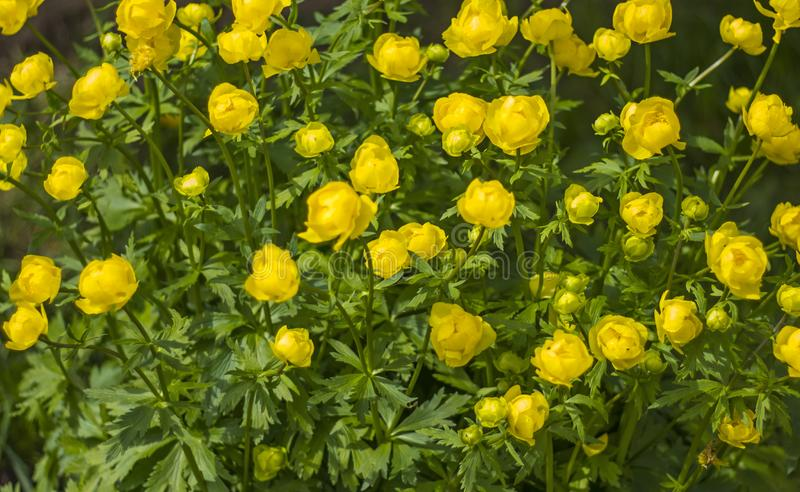 Υπόβαθρο του κίτρινου globular europaeus Trollius λουλουδιών στοκ φωτογραφίες
