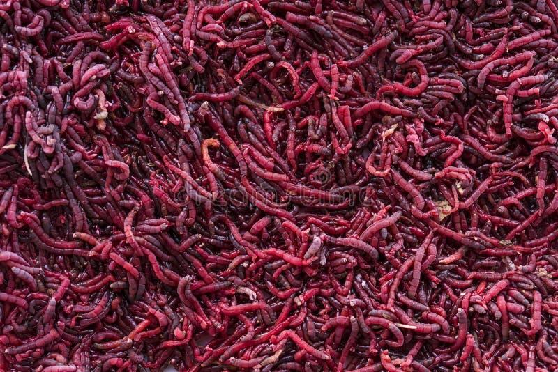 Υπόβαθρο των κόκκινων προνυμφών κουνουπιών στοκ φωτογραφία με δικαίωμα ελεύθερης χρήσης