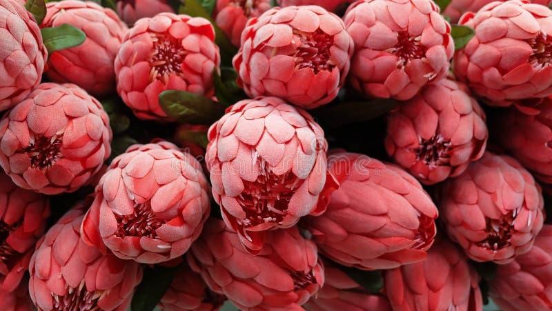 Υπόβαθρο των κόκκινων τεχνητών λουλουδιών Protea Aristata στοκ φωτογραφία με δικαίωμα ελεύθερης χρήσης