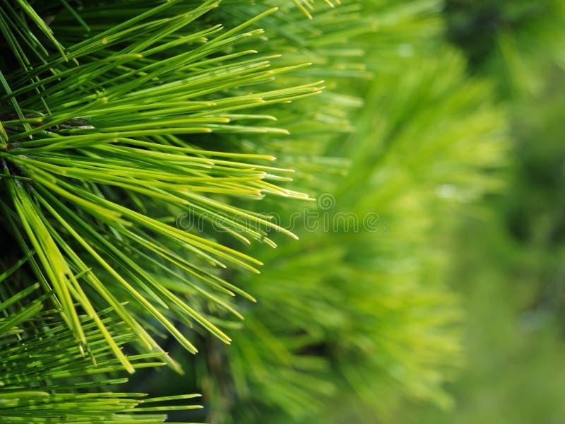Υπόβαθρο των κλάδων χριστουγεννιάτικων δέντρων στοκ φωτογραφίες με δικαίωμα ελεύθερης χρήσης
