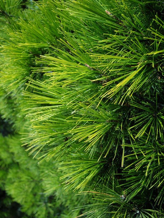 Υπόβαθρο των κλάδων χριστουγεννιάτικων δέντρων στοκ εικόνες