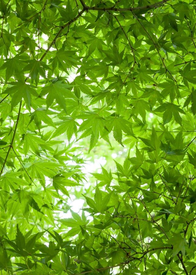 Υπόβαθρο των πράσινων φύλλων του ιαπωνικού θόλου Overhea δέντρων σφενδάμνου στοκ φωτογραφία με δικαίωμα ελεύθερης χρήσης