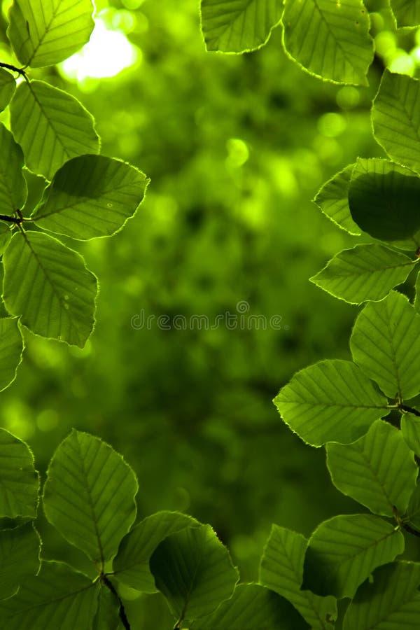 Υπόβαθρο των πράσινων φύλλων στοκ φωτογραφία με δικαίωμα ελεύθερης χρήσης