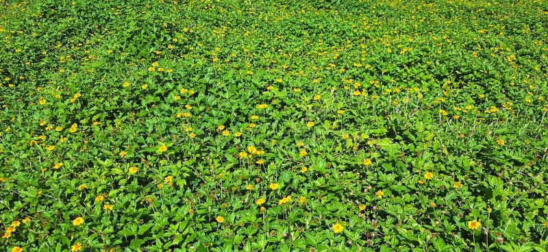 Υπόβαθρο υπό μορφή επιφάνειας χορτοταπήτων που καλύπτεται πυκνά με τους πράσινους θάμνους με τα κίτρινα λουλούδια στοκ φωτογραφίες με δικαίωμα ελεύθερης χρήσης