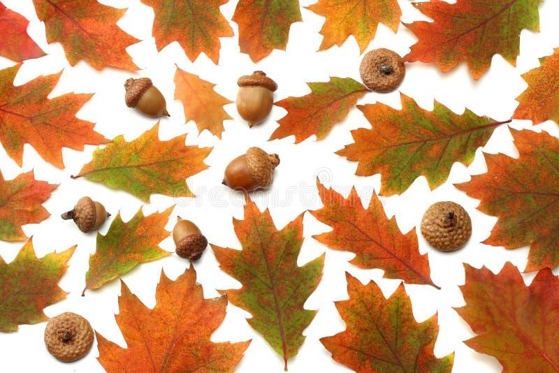 υπόβαθρο φθινοπώρου με τα χρωματισμένα δρύινα φύλλα που απομονώνεται στο άσπρο υπόβαθρο Τοπ όψη στοκ φωτογραφίες