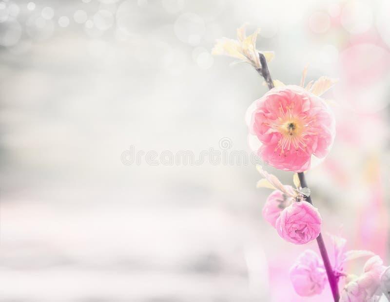 Υπόβαθρο φύσης άνοιξη με τα ρόδινα χλωμά λουλούδια αμυγδάλων στοκ εικόνες