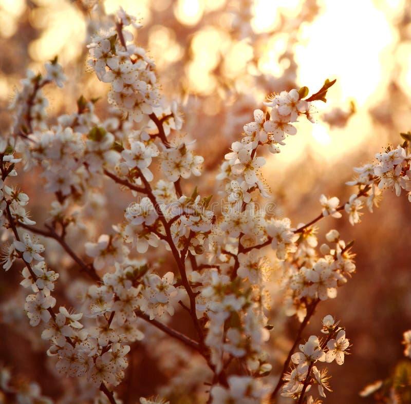 Υπόβαθρο φύσης, ανθίζοντας δέντρα κήπων στο φως ηλιοβασιλέματος στοκ εικόνα