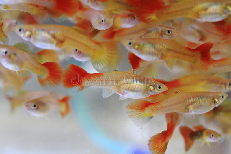 Υπόβαθρο ψαριών Guppy στοκ φωτογραφία με δικαίωμα ελεύθερης χρήσης