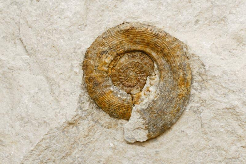 Υπόβαθρο - ammonite κοχύλι στον ασβεστόλιθο στοκ εικόνα