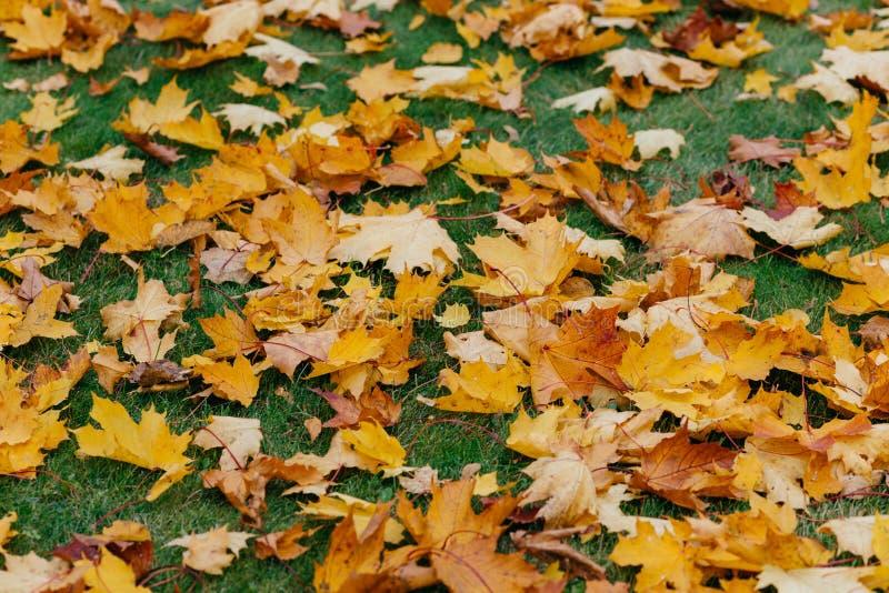 Υπόβαθρο Autuman Τα χρυσά πεσμένα φύλλα βρίσκονται στον πράσινο χορτοτάπητα Τάπητας φυλλώματος κλείστε επάνω Υψηλός - ποιοτικό ψή στοκ εικόνες