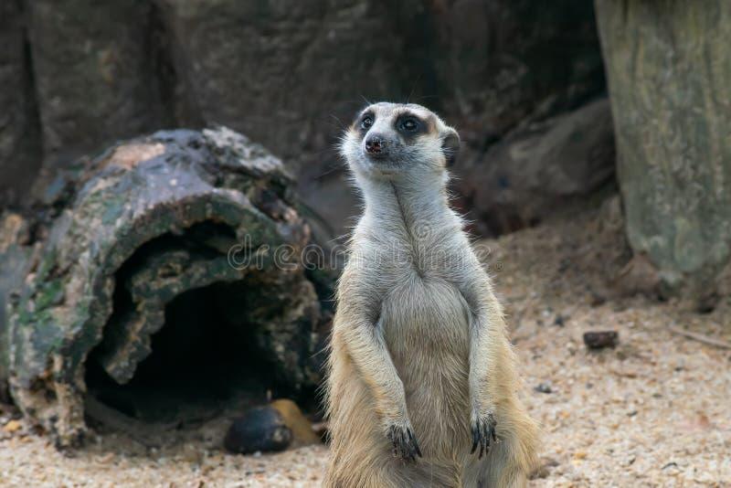 Υπόβαθρο Meerkat ή Suricate, ένα μικρό carnivoran που ανήκει στη mongoose οικογένεια στοκ εικόνα