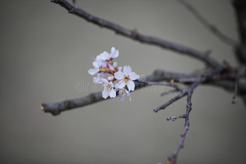 Υπόλευκα ρόδινα άνθη κερασιών την πρώιμη άνοιξη στοκ εικόνες