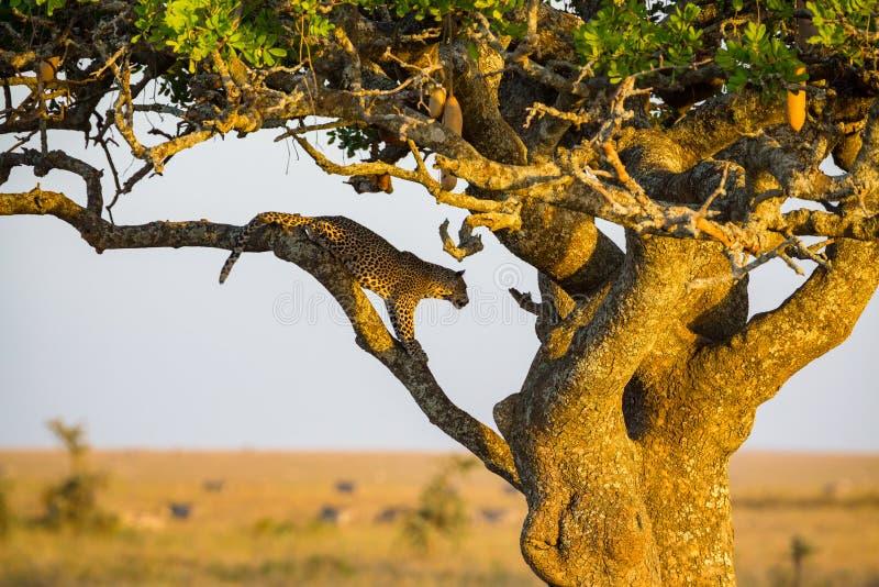 Υπόλοιπα λεοπαρδάλεων σε ένα δέντρο μετά από το γεύμα στοκ εικόνες