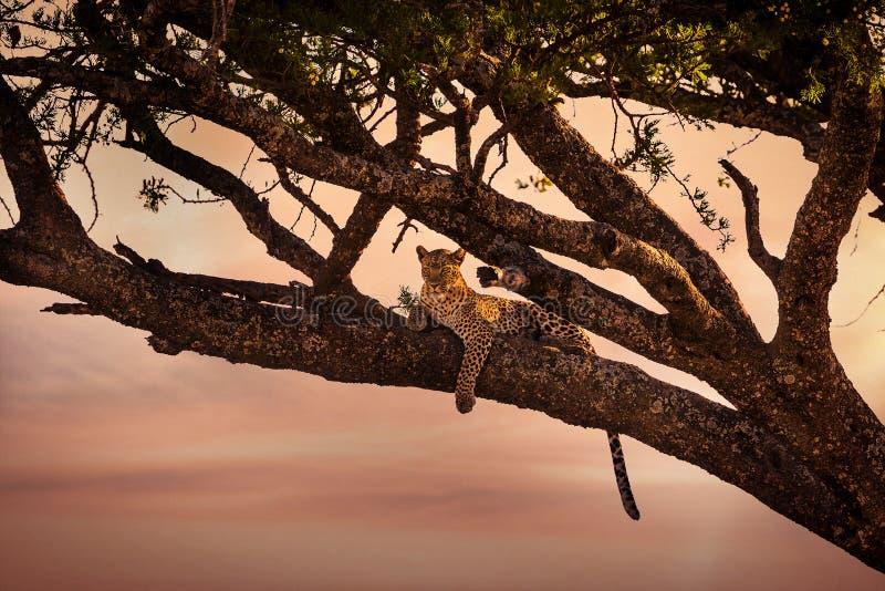 Υπόλοιπα λεοπαρδάλεων σε ένα δέντρο στο ηλιοβασίλεμα στοκ εικόνα