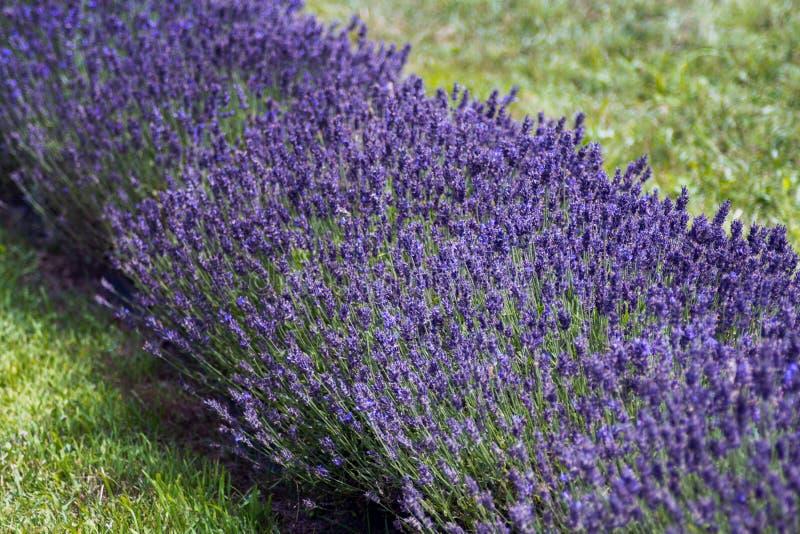 Υπόλοιπος κόσμος γαλλικό lavender σε ένα αγρόκτημα στοκ φωτογραφία