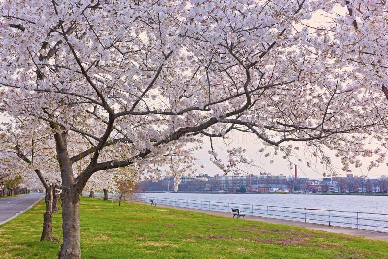 Υπόλοιπος κόσμος των ανθίζοντας δέντρων κερασιών ανατολικό Potomac στο πάρκο κοντά στο νερό, Washington DC, ΗΠΑ στοκ εικόνα