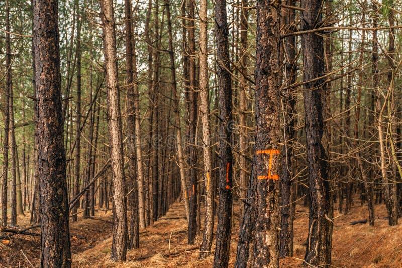 Υπόλοιπος κόσμος των πορτοκαλής-orange-marked κορμών δέντρων έτοιμων για την κατάρριψη στοκ εικόνες