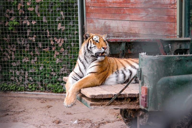 Υπόλοιπο τιγρών στην επανάλειψη στοκ εικόνα με δικαίωμα ελεύθερης χρήσης