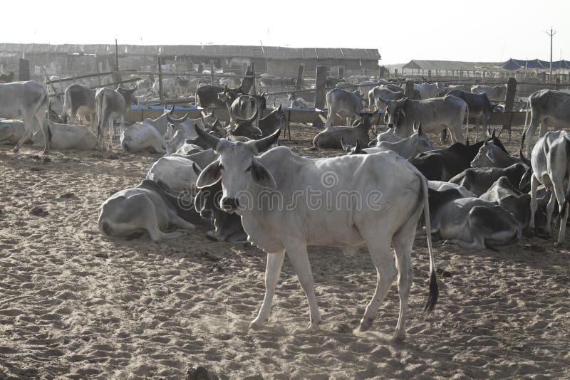 Υπόστεγο αγελάδων στοκ φωτογραφία με δικαίωμα ελεύθερης χρήσης