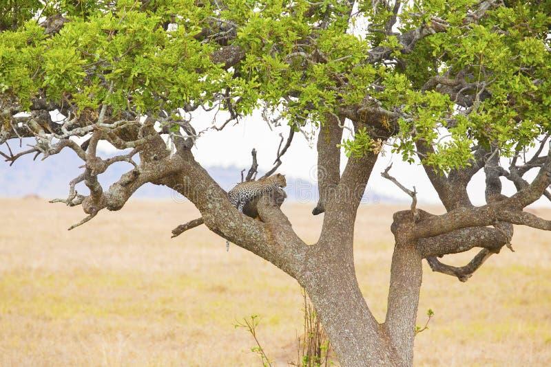 Υπόλοιπα λεοπαρδάλεων στο δέντρο μετά από το γεύμα στοκ φωτογραφίες με δικαίωμα ελεύθερης χρήσης