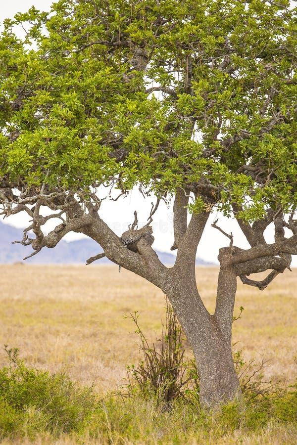Υπόλοιπα λεοπαρδάλεων στο δέντρο μετά από το γεύμα στοκ φωτογραφία με δικαίωμα ελεύθερης χρήσης