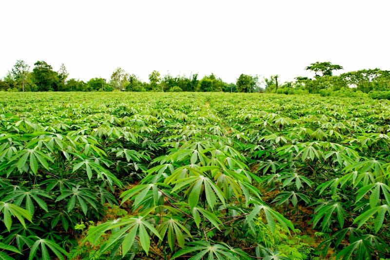 Υπόλοιπος κόσμος του αγροκτήματος μανιόκων στοκ εικόνες με δικαίωμα ελεύθερης χρήσης