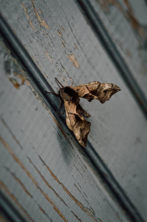 υπόλοιπο νύχτας σκώρων πεταλούδων στοκ εικόνες με δικαίωμα ελεύθερης χρήσης