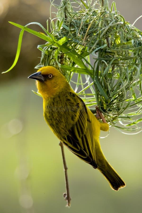 υφαντής πουλιών στοκ εικόνες