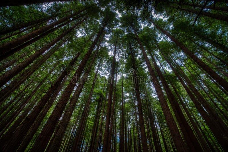 Υψηλοί κορμοί των δέντρων από τη χαμηλή γωνία στοκ φωτογραφίες