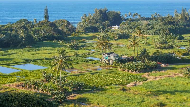Υψηλοί taro άποψης γωνίας τομείς στη χερσόνησο keanae στοκ εικόνες
