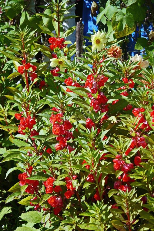 Υψηλός θάμνος με τις συστάδες των κόκκινων λουλουδιών στον κήπο στοκ φωτογραφία με δικαίωμα ελεύθερης χρήσης