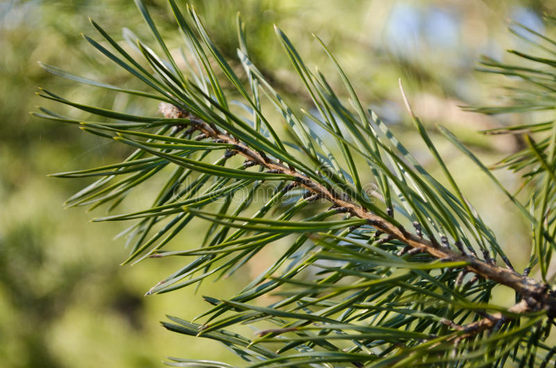 Υψηλός καθορισμός wildnature εγκαταστάσεων Needled στοκ εικόνες